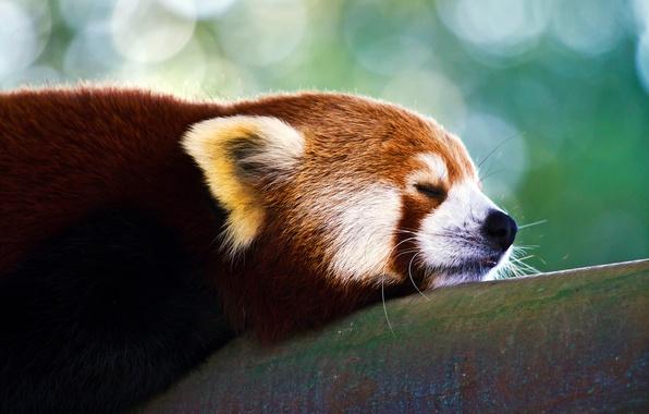 Картинка панда, firefox, красная, малая