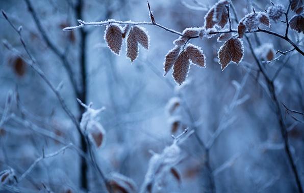 Картинка зима, иней, листья, ветки, природа, мороз