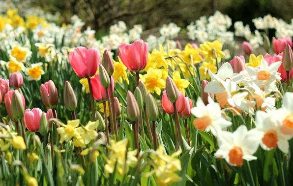Картинка весна, тюльпаны, бутоны, нарциссы