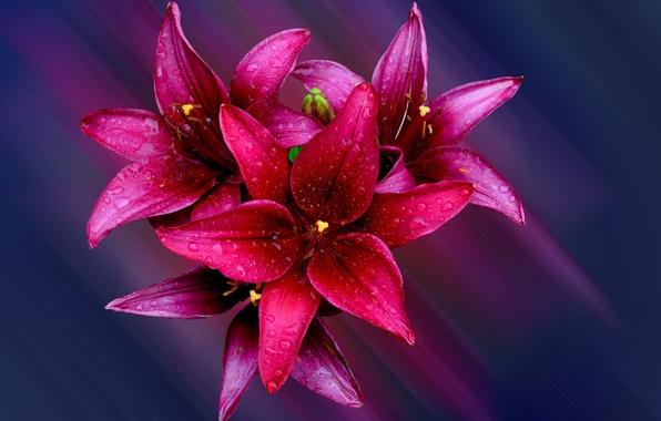 Фото обои капли, цветы, роса, лилия, букет, лепестки