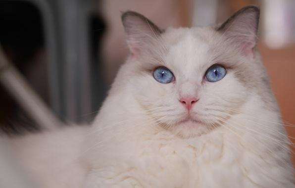 Картинка кошка, взгляд, портрет, мордочка, голубые глаза, красава, Рэгдолл