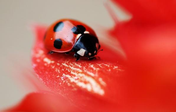 Картинка цветок, красный, божья коровка, жук, точки, лепестки, насекомое