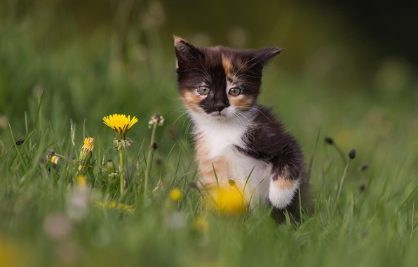Картинка кошка, трава, цветы, природа, котенок, одуванчики