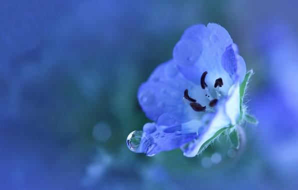 Картинка цветок, вода, капли, макро, свежесть, синий, природа, роса, дождь, голубой, растение, цвет, лепестки, маленький
