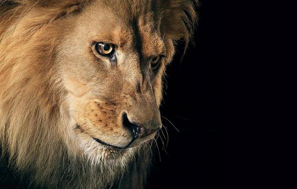 Картинка кошка, взгляд, хищник, лев, грива, царь зверей, зверь