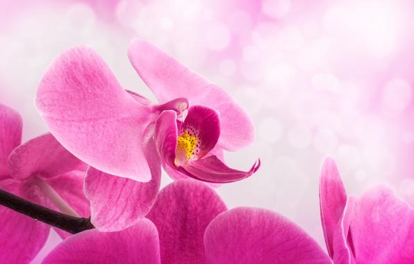 Картинка цветок, фон, лепестки, стебель, розовые, орхидея