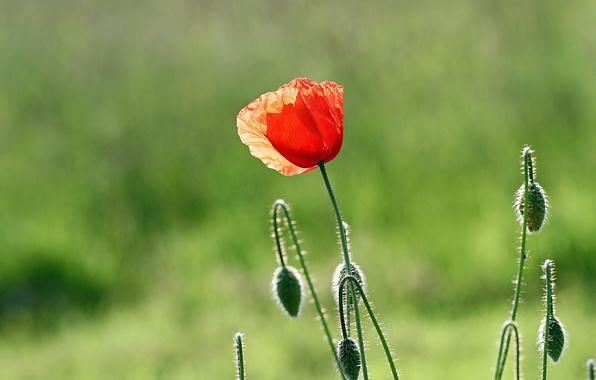 Картинка цветок, макро, красный, зеленый, фон, лепестки, Мак
