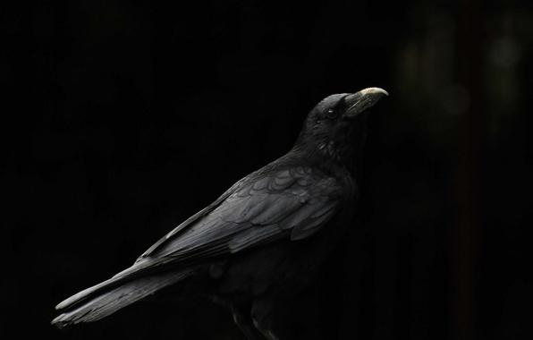Картинка фон, птица, клюв, ворон