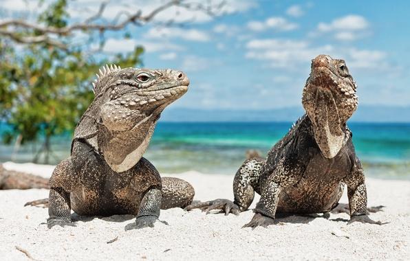 Картинка животные, пляж, Игуана, ящерица, куба, Iguana