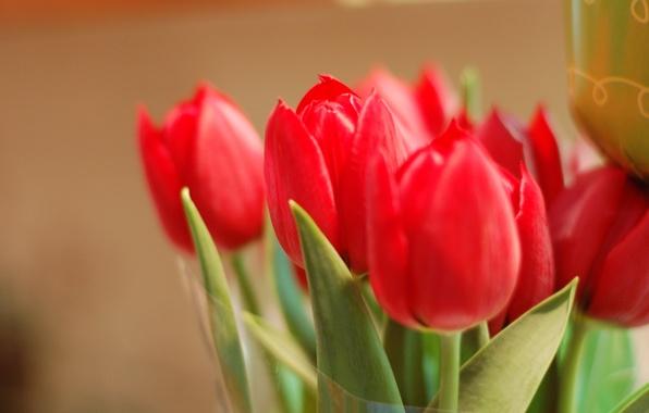 Картинка листья, макро, цветы, фон, widescreen, обои, лепестки, бутон, тюльпаны, красные, wallpaper, red, rose, листочки, цветочки, …