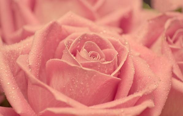 Картинка капли, макро, розовая, нежность, роза, красота, лепестки, размытость, бутон
