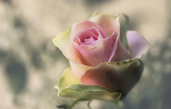 Картинка макро, фон, роза, бутон