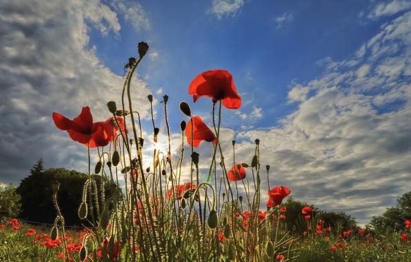 Картинка поле, небо, трава, облака, цветы, маки, луг