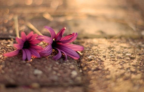 Картинка цветок, асфальт, макро, цветы, фон, розовый, widescreen, обои, размытие, wallpaper, цветочки, flower, широкоформатные, flowers, background, …