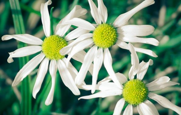 Картинка белый, цветы, зеленый, фон, widescreen, обои, ромашки, лепестки, wallpaper, цветочки, широкоформатные, flowers, background, полноэкранные, HD …