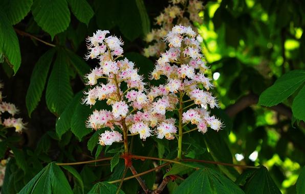 Картинка макро, дерево, весна, цветение, каштан