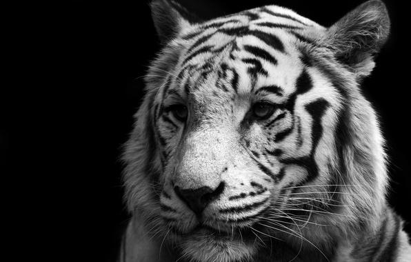 Картинка Кошка, Тигр, Белый, Хищник, Tiger, White