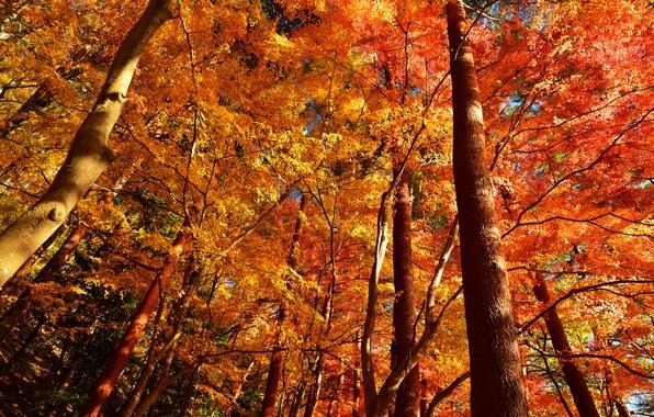 Картинка осень, лес, листья, деревья, ствол, крона