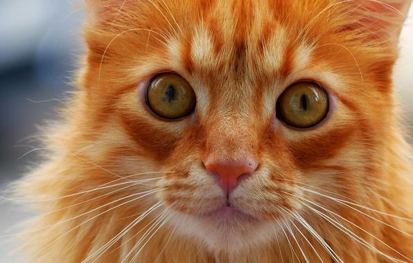 Картинка кошка, кот, усы, взгляд, мордочка, рыжая