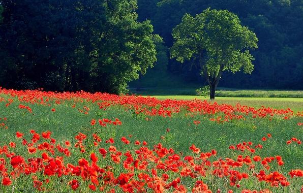 Картинка поле, трава, деревья, цветы, маки, луг