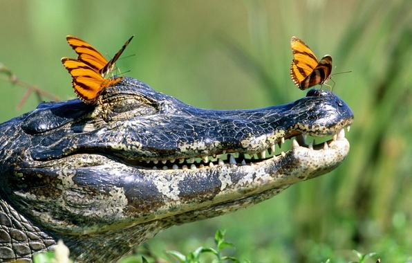 Картинка бабочки, зубы, крокодил, пасть