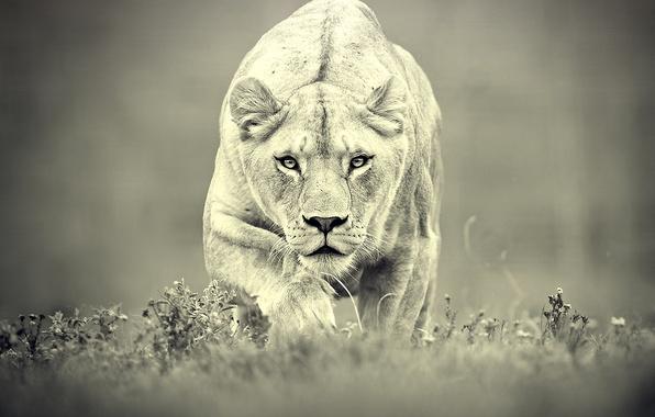 Картинка хищник, охота, львица