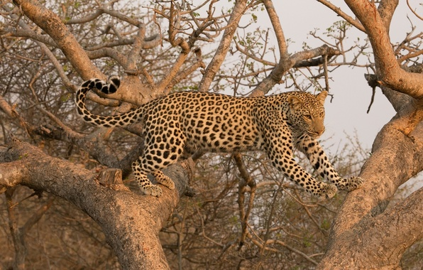 Картинка хищник, леопард, грация, дикая кошка