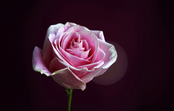 Картинка цветок, капли, фон, розовая, роза, лепестки, стебель, бутон