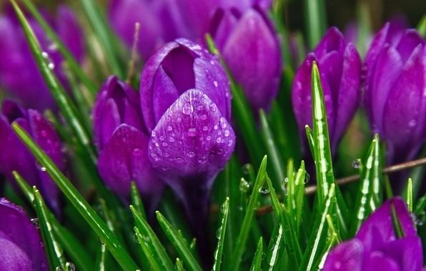 Цветы крокусы фиолетовые обои фото