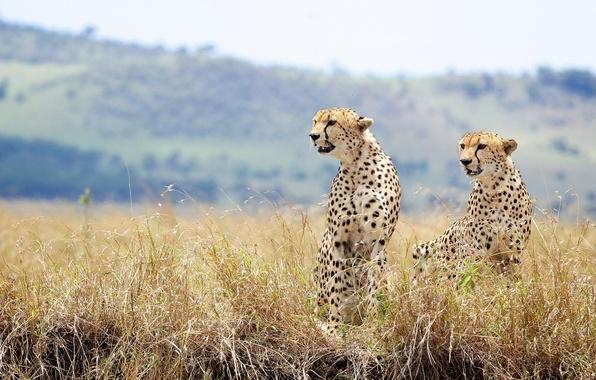 Картинка трава, дикие кошки, парочка, гепарды
