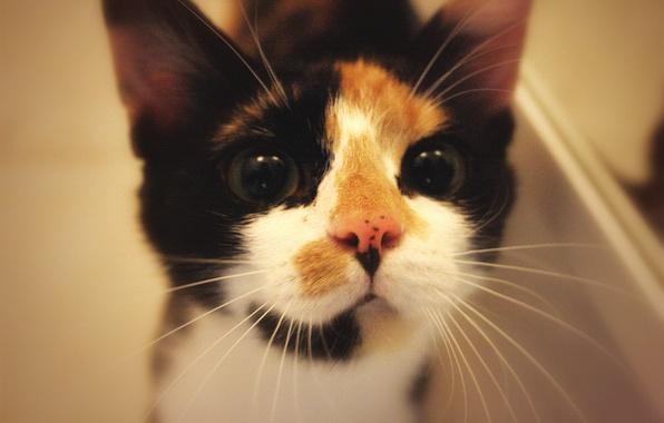 Картинка животные, кошки, мордочка, смотрит