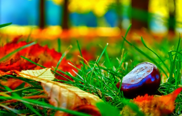 Картинка осень, трава, листья, макро, каштан