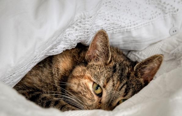 Картинка кошка, кот, взгляд, глаз, фон, widescreen, обои, лежит, wallpaper, зверь, широкоформатные, cat, background, eye, look, …