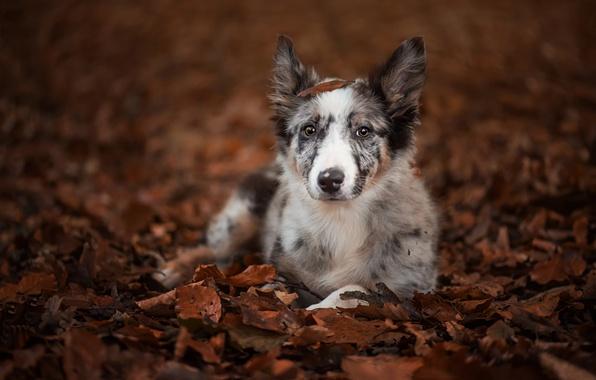 Картинка осень, взгляд, листья, собака, щенок, Бордер-колли