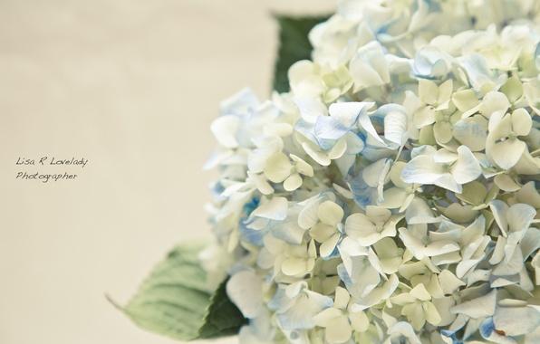 Картинка цветы, нежность, гортензия