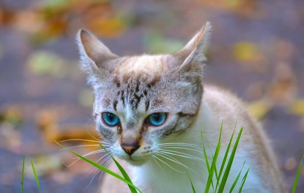 Картинка кошка, трава, глаза, фон, голубые, травинки, в полоску