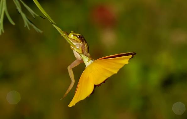Картинка цветок, макро, лягушка, обыкновенная квакша, древесница