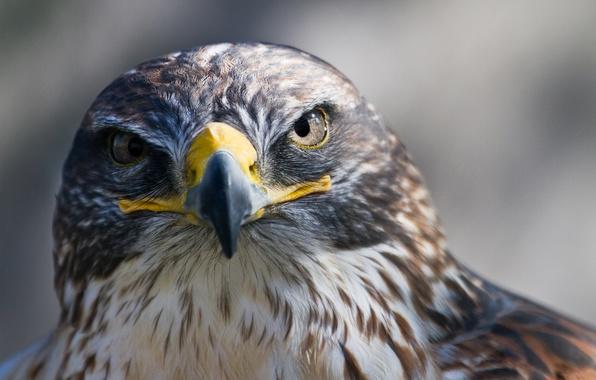 Картинка птица, хищник, клюв, сокол, смотрит