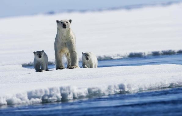 Картинка лед, снег, медведи, Белые