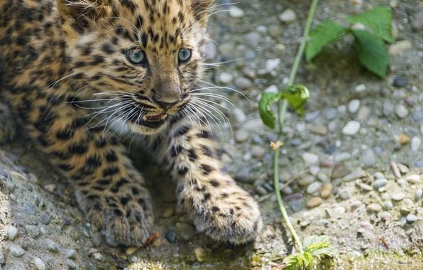 Картинка кошка, взгляд, камни, леопард, детёныш, котёнок, амурский, ©Tambako The Jaguar