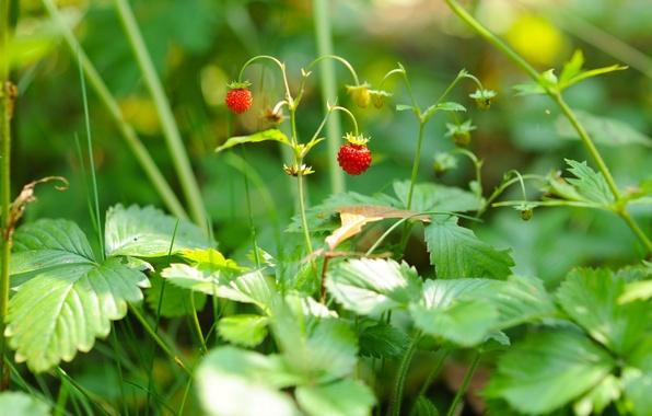 Картинка макро, ягоды, земляника