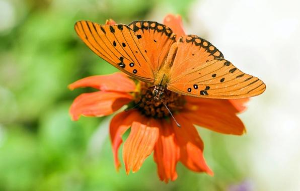Картинка цветок, природа, обои, бабочка, крылья, лепестки