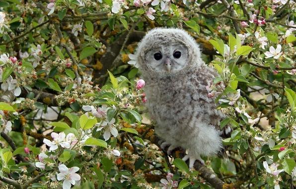 Картинка ветки, дерево, сова, птица, яблоня, цветение, птенец, цветки, совёнок