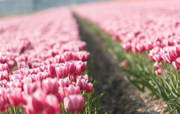 Картинка цветы, природа, тюльпан, весна, тюльпаны, бутоны, tulips, плантация