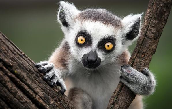 Картинка природа, обезьяна, Ring-Tailed Lemur