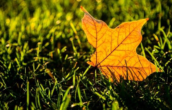 Картинка зелень, трава, листья, макро, желтый, фон, widescreen, обои, листик, wallpaper, листочек, yellow, широкоформатные, background, leaves, …