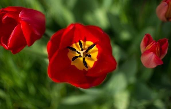 Картинка макро, лепестки, тюльпаны, бутоны, боке