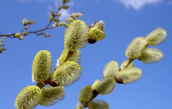 Картинка цветок, небо, природа, ветка, весна, верба