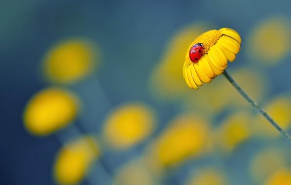 Картинка цветы, божья коровка, ромашка, желтая
