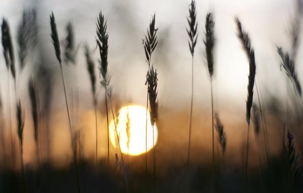 Картинка трава, солнце, закат, колоски